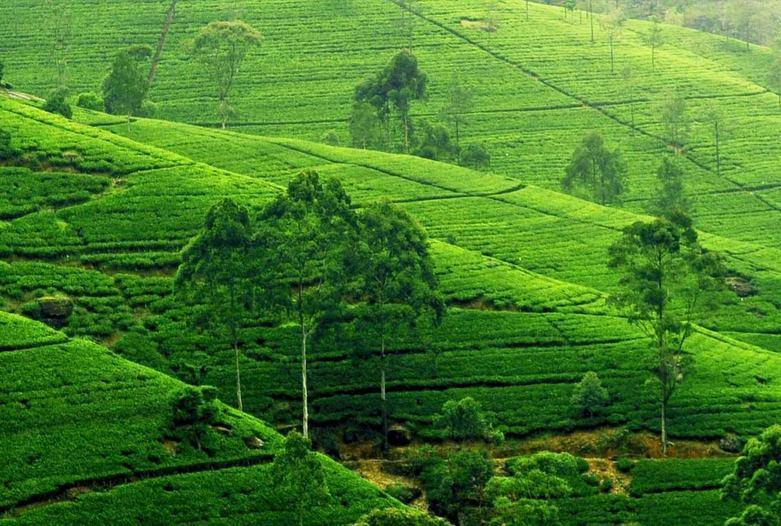 Sri Lanka | Plantación de té, Nuwara Eliya