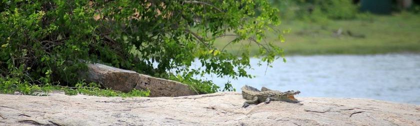 Cocodrilo Parque Nacional Yala.JPG